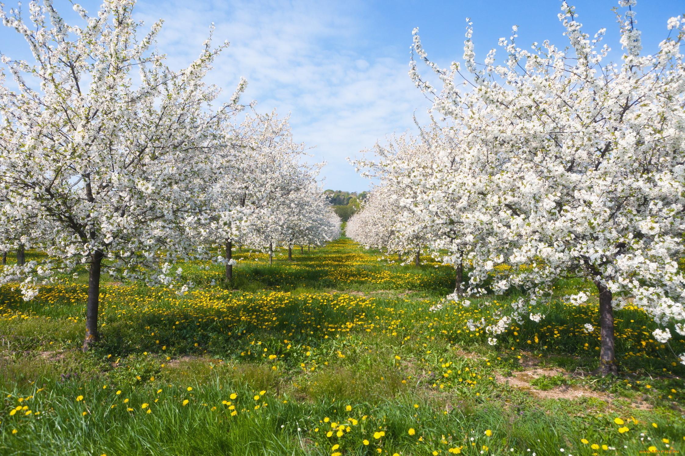 картинки яблоневого сада цветущего временем